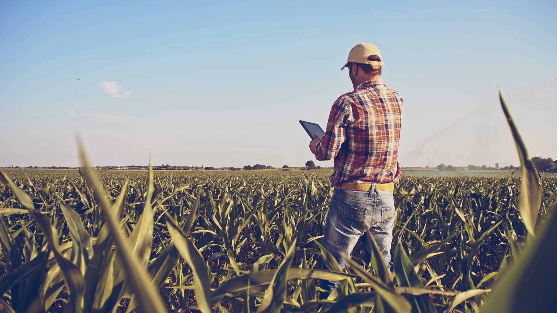 Farmer standing in a field of crops looking at a tablet.