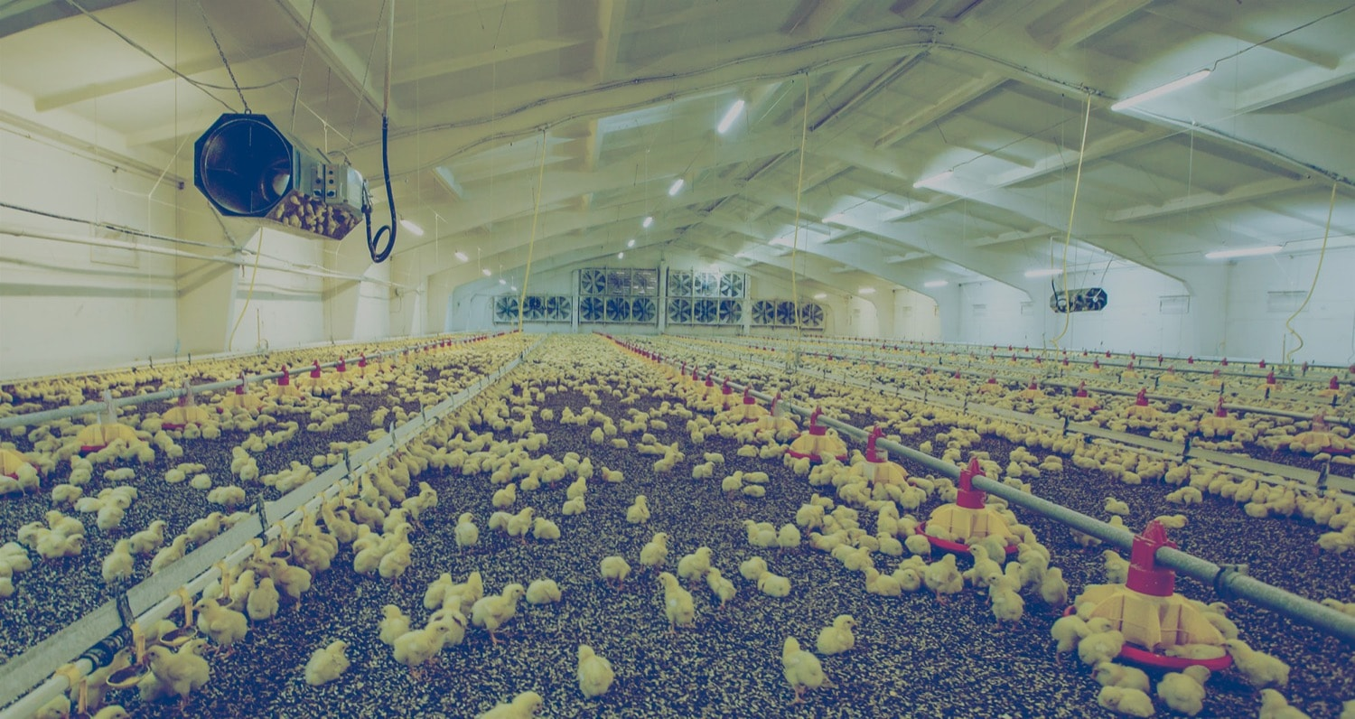 Hundreds of chicks inside a chicken barn heated by propane.