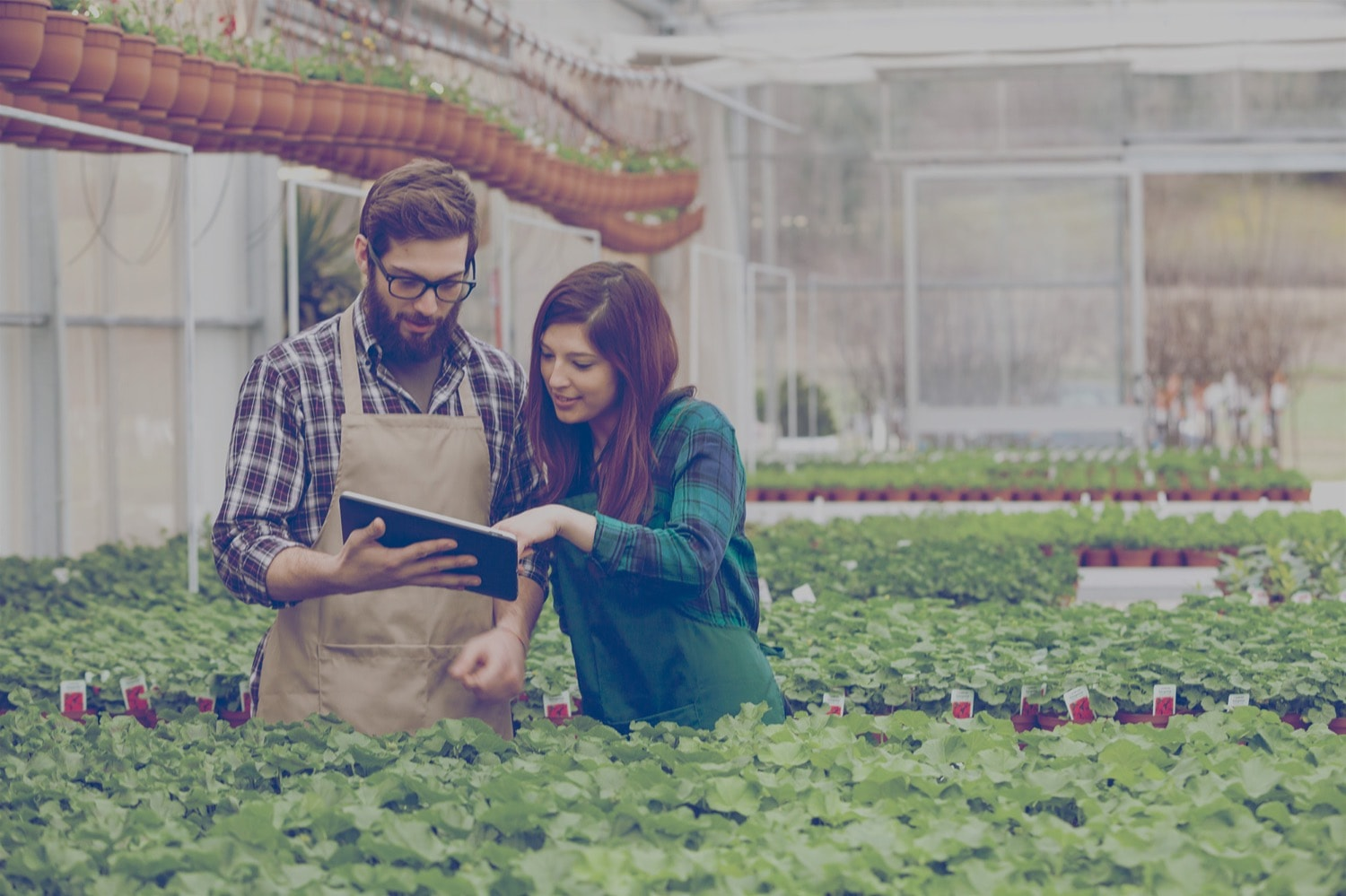 Two workers looking at a tablet inside a commercial greenhouse.