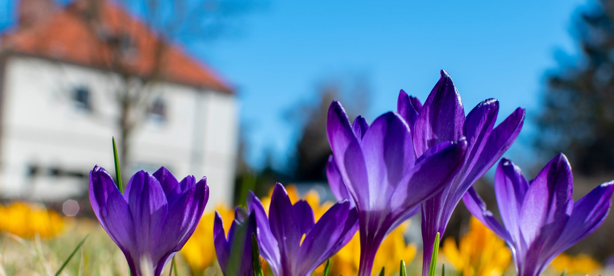 Purple flowers in bloom in front of a house